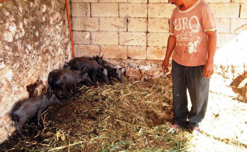 La característica distintiva del cerdo pelón es la rusticidad. (SIPSE/Archivo)