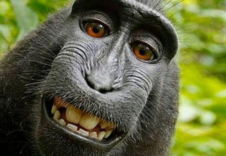 Los derechos por la selfie tomada por un mono siguen siendo debatidos en la Justicia. (Foto: Internet)