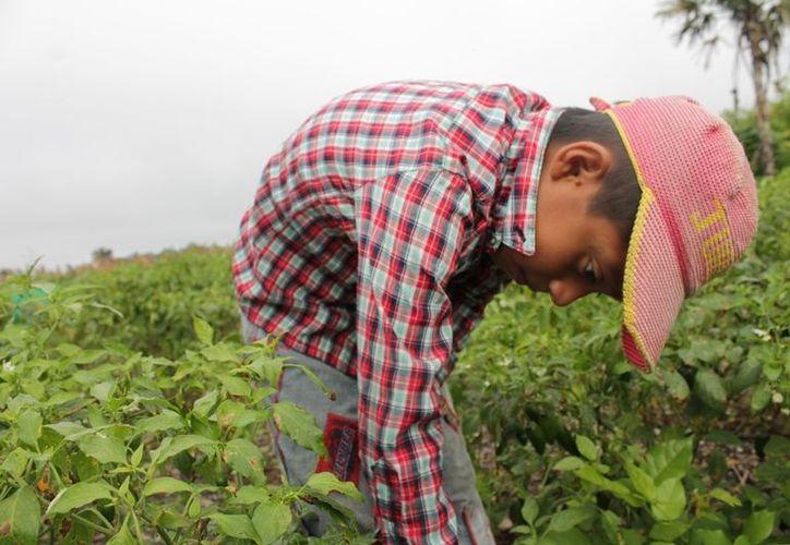 Al ayudar a su padre en la recolecta, Luis se gana 80 pesos diarios, con los cuales apoya a la economía de su casa. (Edgardo Rodríguez/SIPSE)