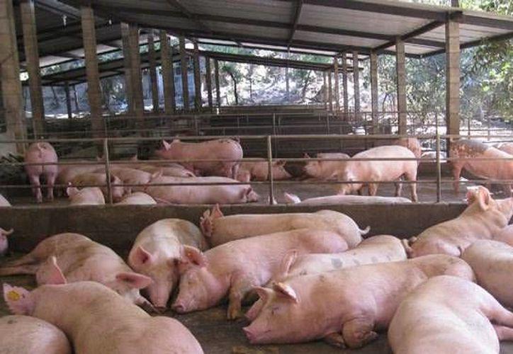 Quintana Roo cuenta con baja producción de cerdos, por lo que el riesgo es bajo. (Contexto/SIPSE)