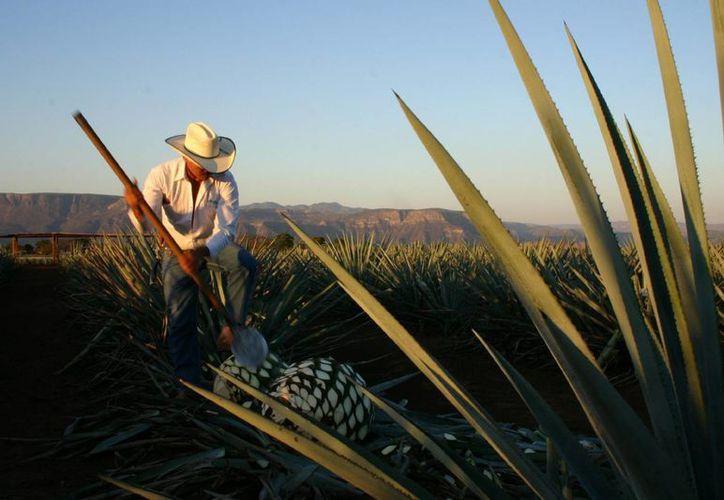 En México se desechan unas 120 mil toneladas de restos de agave, que podrían ser aprovechados para extraer poderosos antioxidantes benéficos para el ser humano, tal y como hizo el joven preparatoriano Alan Heredia. (Archivo/Notimex)