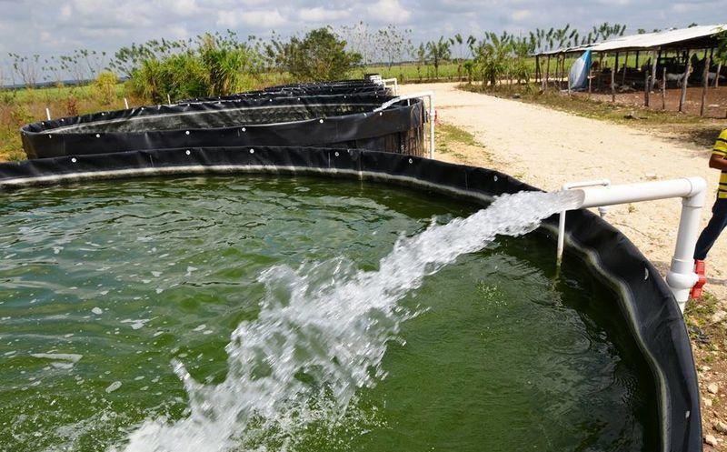 Preparan acuacultores su cosecha de tilapia para la for En cuanto tiempo se cosecha la tilapia