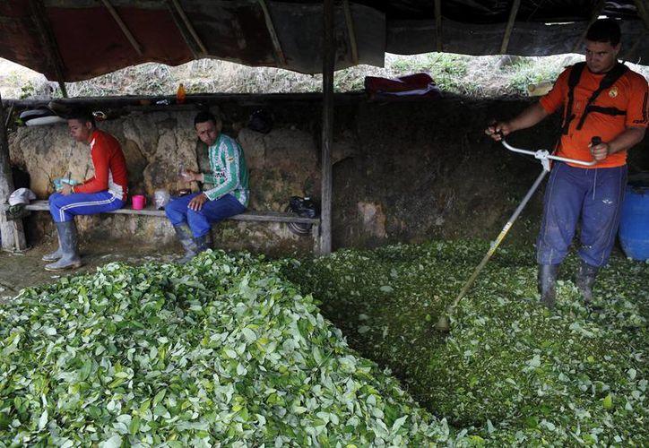 Edgar pulveriza hojas de coca con un cortador de maleza como el primer paso para fabricar pasta de coca en un pequeño laboratorio improvisado en la región montañosa de Antioquia, Colombia. (Agencias)