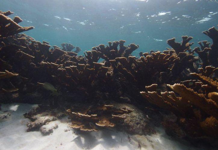 El sistema arrecifal tiene una extensión de mil 780 kilómetros. (Joel Zamora/SIPSE)