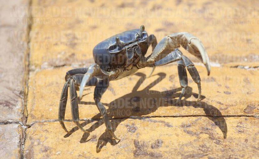 Recomiendan que los cangrejos sean atrapados por personal capacitado. (Luis Soto/SIPSE)