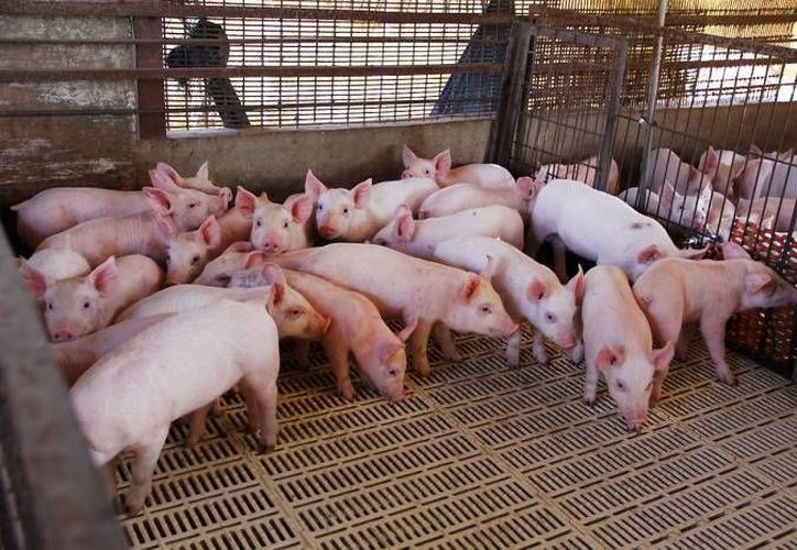 Los cerdos desatarían una pandemia en 2017