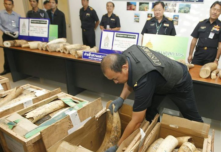 Un oficial de Aduanas revisa colmillos de marfil confiscados el pasado mes de julio en el aeropuerto de Bangkok, Tailandia. (Archivo/EFE)