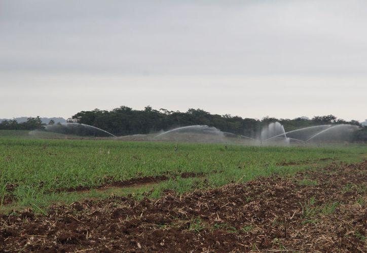 El sistema de riego no funciona al 100%afectando directamente el crecimiento de las plantas. (Carlos Castillo/SIPSE)