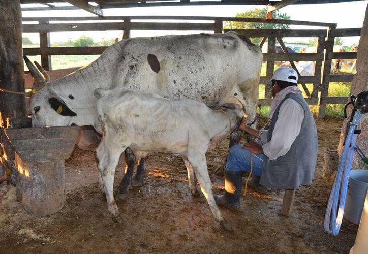 Con la cancelación del crédito ya no podrán apoyar a más socios que querían comprar ganado. (Foto: Juan Rodríguez/ SIPSE)