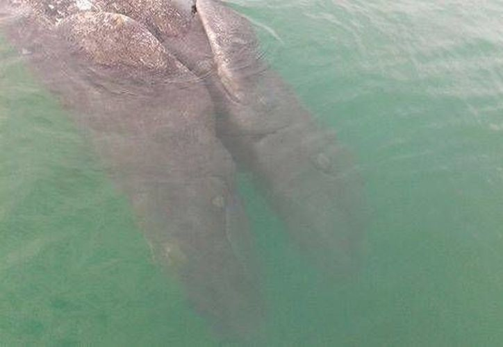 El ejemplar de ballenato fue encontrado flotando muerto en la laguna Ojo de Liebre, en Baja California Sur. (Milenio.com)
