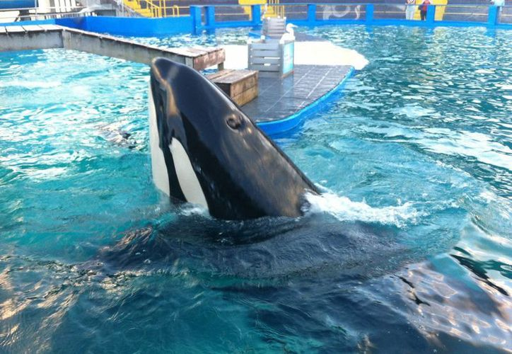 La ballena 'Lolita' es una de las principales atracciones del Miami Seaquarium. (EFE/Archivo)