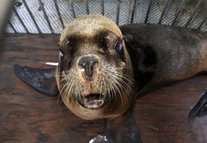 Una de las lobas marinas trasladadas el miércoles 8 de febrero de 2016, del parque Atlantis de Ciudad de México, al parque Dolphin Discovery, en Nayarit. (Notimex)