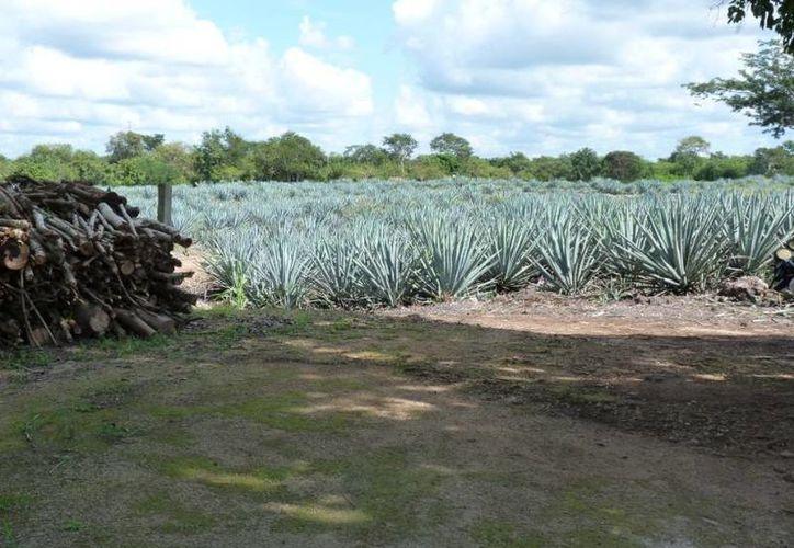En el 2002 comenzó la siembra en cinco hectáreas. En la actualidad se cultivan 42 hectáreas. (Tomás Álvarez/SIPSE)