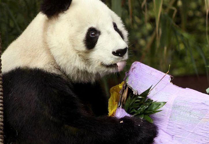 Shuan Shuan es una pandita muy sociable, que le gusta mucho interactuar con las personas. (Sin Embargo)