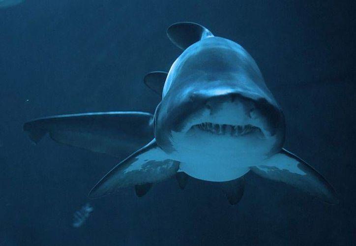 Los estudios de comportamiento de los tiburones se hacen en todos los destinos turísticos. (Foto de Contexto/Internet)