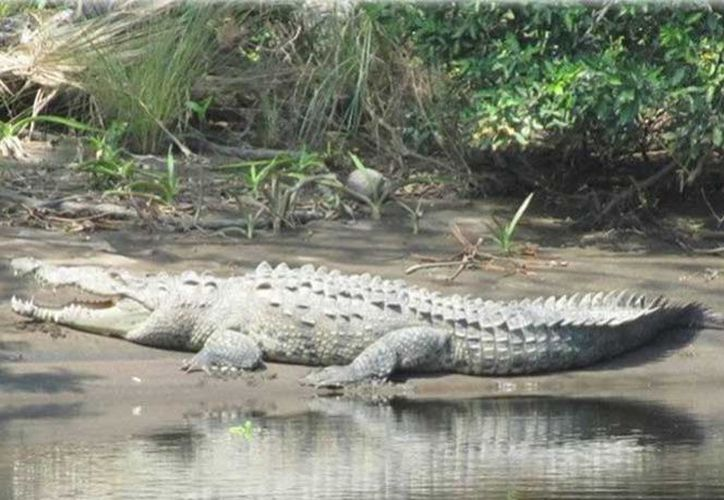 Realizarán el monitoreo de los cocodrilos de más de tres metros para capturarlos. (Excelsior)