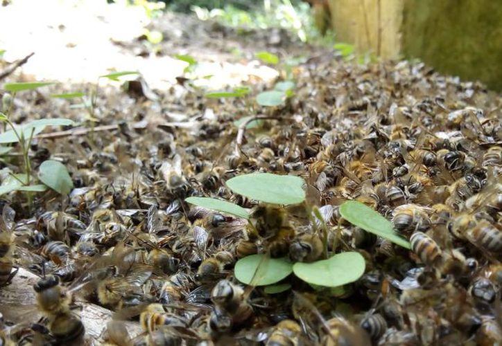 Miles de abejas murieron por la fumigación. (Foto: Alejandro Poot/SIPSE)