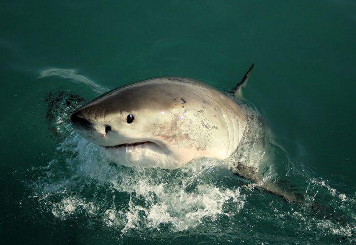 El tiburon casi ni se inmuta ante la escoba de los marineros. (sharks-world.com)