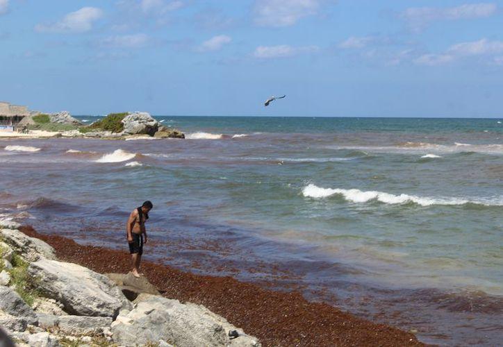 Con el cambio de corrientes arribó menos sargazo en las playas, aunque en unas zonas se acumuló. (Foto: Sara Cauich)