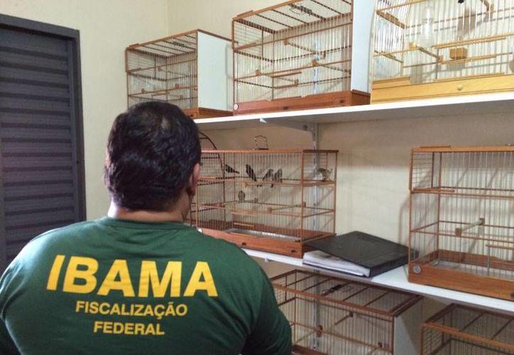 La banda criminal se dedicaba al tráfico de vida silvestre y la falsificación de sellos gubernamentales con los que se marcan las aves. (ibama.gov.br)