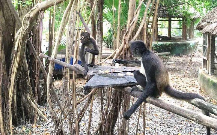 Durante la primavera de este año nacieron tres monos araña en Xcalacoco. (Octavio Martínez/SIPSE)