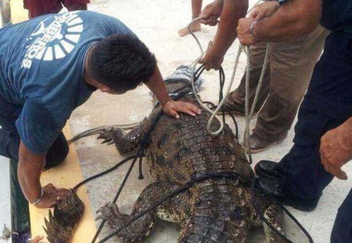 El animal fue capturado por el personal de bomberos y  guardaparques. (El Policiaco Cozumel/Facebook)