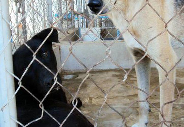 Los perros que ingresan al centro de control  tienen en su mayoría un dueño. (SIPSE.com)