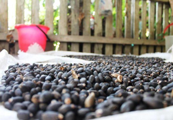 La jatrofa produce de tres a cinco toneladas de aceite por hectárea. (Edgardo Rodríguez/SIPSE)