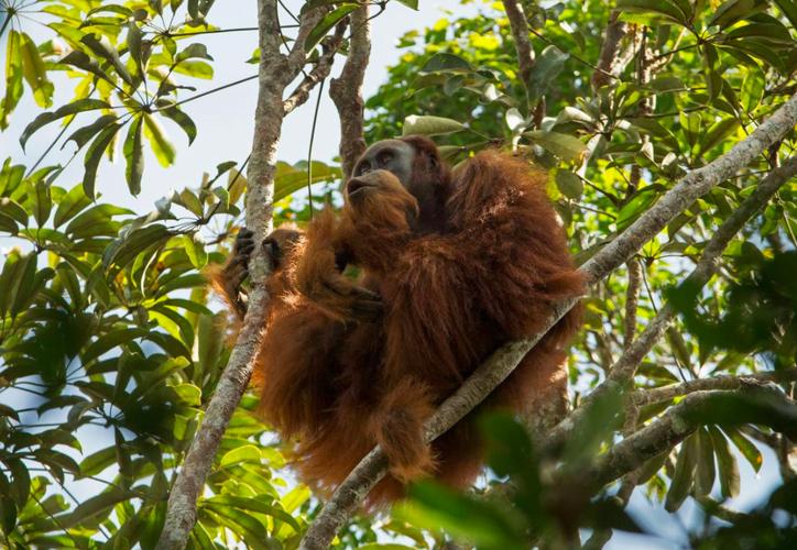 Científicos anunciaron que descubrieron una nueva especie de orangután. (National Geographic).