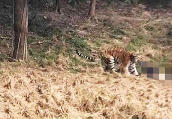 El hombre fue atacado a zarpazos por el tigre en repetidas ocasiones, cada vez que intentaba incorporarse. (Captura de pantalla/YouTube)