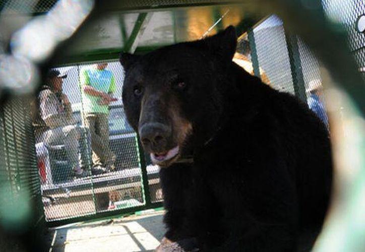 Las autoridades reubicarán al oso en su hábitat natural. (Especial)
