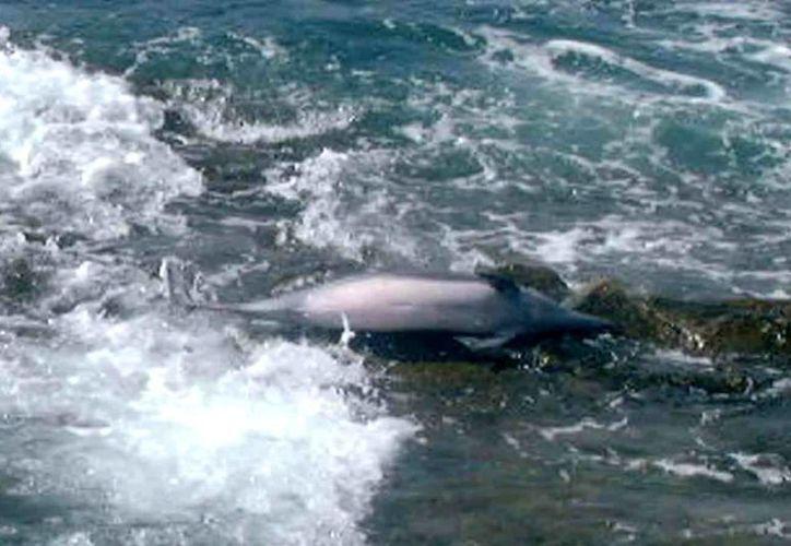 Especialistas acudieron a investigar la presencia de los restos de lobos marinos y delfines. (EFE/Archivo)