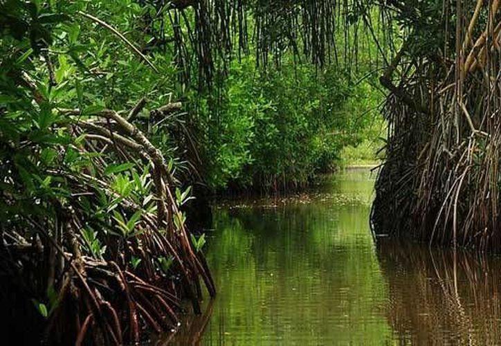 """Una de las especies afectadas con la tala ilegal fue el mangle rojo (""""Rhizophora mangle""""), clase que se encuentra en peligro de extinción. (Foto/Internet)"""