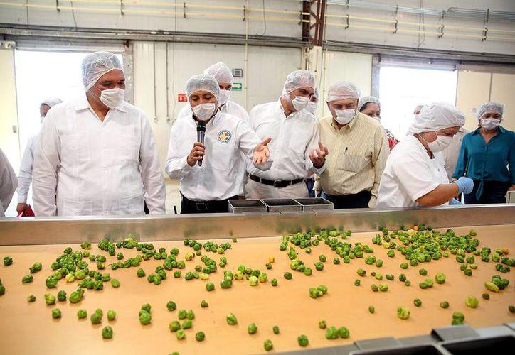 El gobernador Rolando Zapata Bello supervisa el procesamiento de chile habanero en Industria Agrícola Maya. (SIPSE)