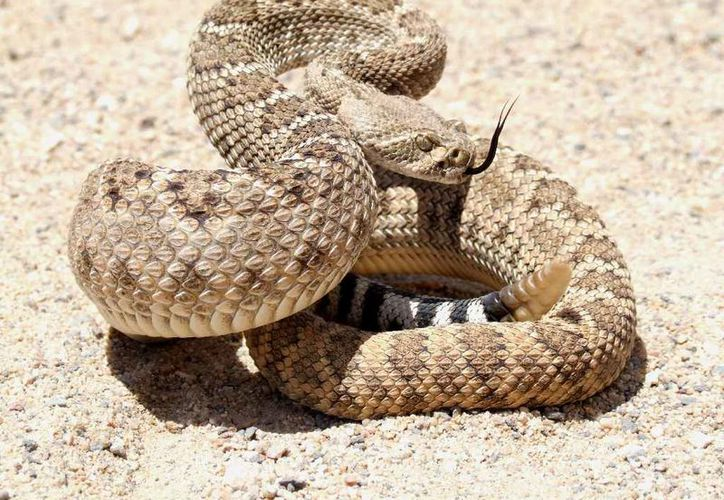 La India es hogar de unas 300 especies de serpientes y 60 son altamente venenosas.  (Foto: Contexto)