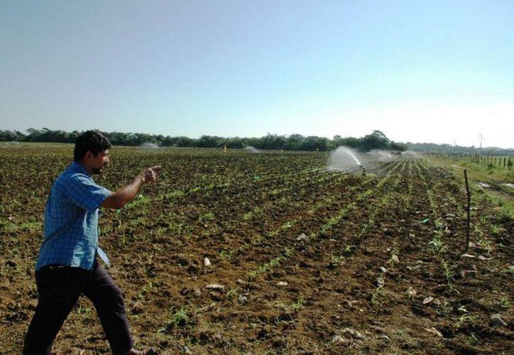 Cada productor recibió 20 kilogramos para la siembra de una hectárea. (Edgardo Rodríguez/SIPSE)