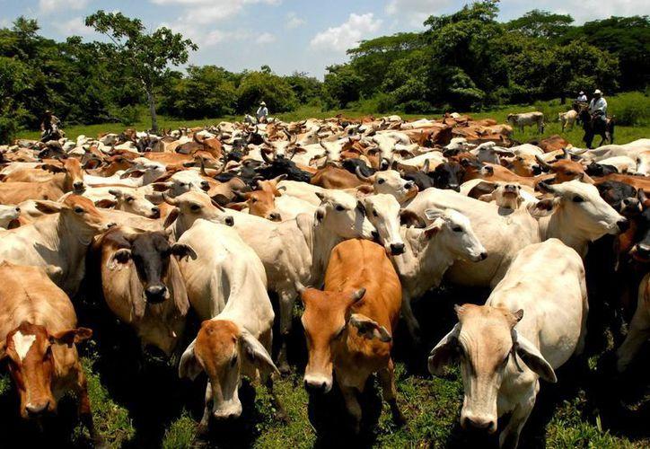 La herramienta, denominada Control Ganadero, es usada ya por ganaderos de Colombia y países vecinos. (Archivo/EFE)