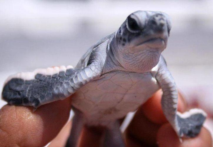 Las pequeñas tortugas de la especie Chelonia, lograron llegar exitosamente al mar. (Redacción/SIPSE)