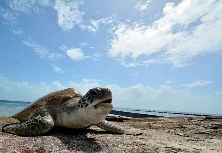 Las especies caguama y blanca de tortugas marinas son las que más se acercan a anidar en las playas del Estado. (Cortesía/Notimex)