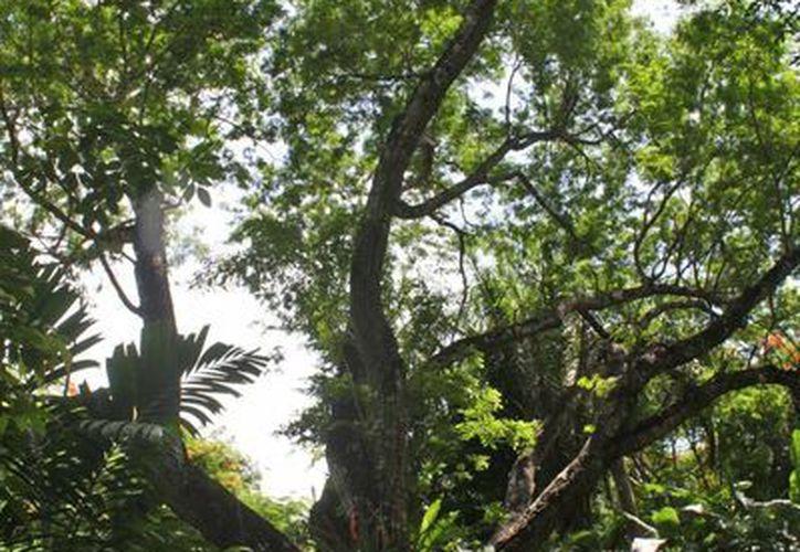 Quintana Roo es un estado con mayor productividad tanto por empleado como por empresa y con mayor inversión en certificación con mayor precio promedio de la producción no maderable. (Harold Alcocer/SIPSE)