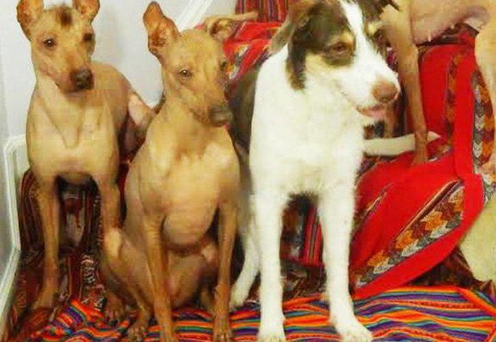 Fotografía cedida por la Asociación de Amigos de los Perros sin Pelo del Perú, que muestra ejemplares del ancestral perro peruano con pelo y sin pelo. (EFE)