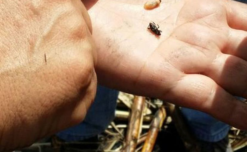 Estos tres insectos han causado una afectación de ocho mil hectáreas. (Edgardo Rodríguez/SIPSE)