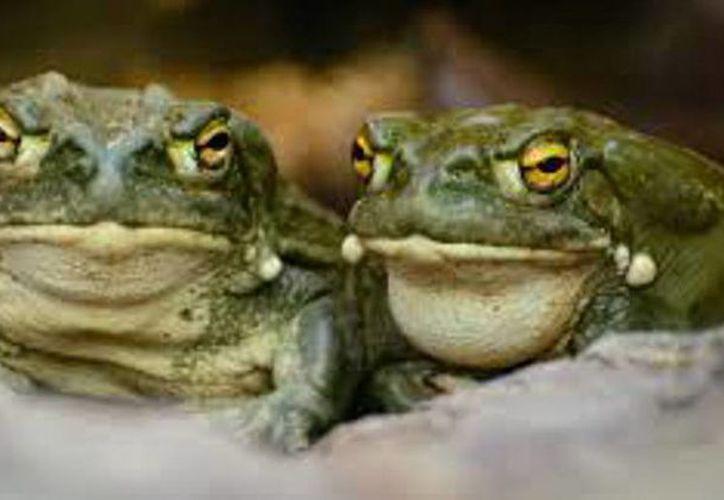 Mucha gente teme a los sapos y otros anfibios, lamenta un experto. (Diario de Navarra)