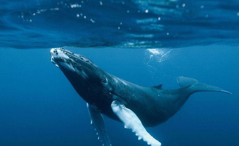 Gran parte de la carne de estos cetáceos se enviarían a Japón. (wordpress.com)