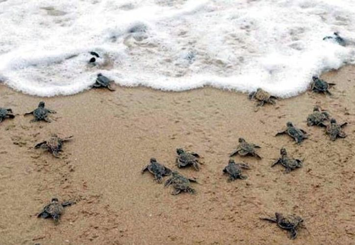 En abril las tortugas desovan, los nacimientos empiezan en julio.  Hasta el mes pasado se tenían reportados 800 mil huevos y han brotado 600 mil crías. (Milenio Novedades)