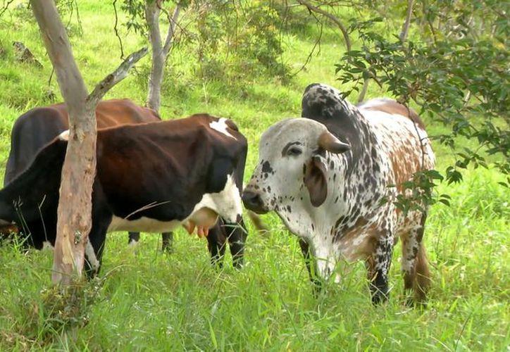 Ante el robo en los potreros, los productores han tenido que contratar personal extra para el cuidado del ganado. (Carlos Castillo/SIPSE)