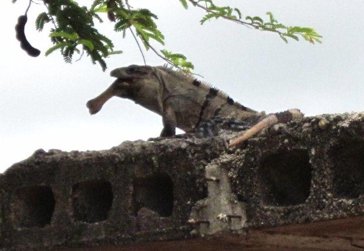 En Yucatán, debido a la fragilidad ecológica, muchas de las especies endémicas están amenazadas. (SIPSE)