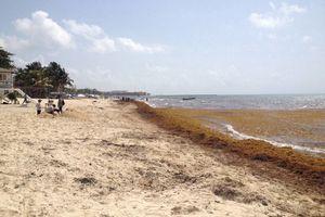 Utilizan sargazo como barrera natural en Cancún