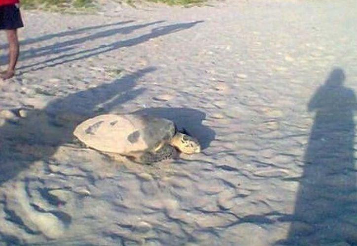 El área de anidación de tortugas en Progreso se ha visto afectada por vehículos y caballos que pasan por la zona. (Foto: Redacción)