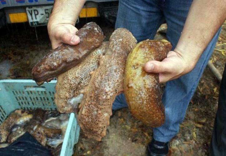 El pepino de mar fue encontrado en un camión. (Archivo/SIPSE)